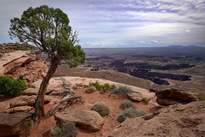 White Rim Canyon Tree