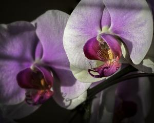 Two Orchid Front