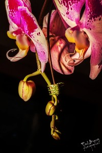 Orchid Pods